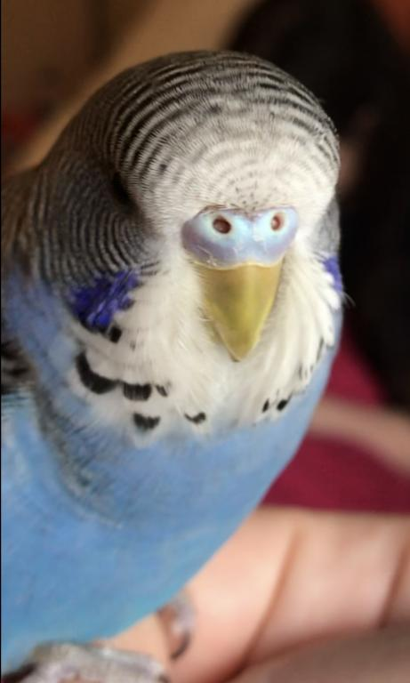 Gender Confused - 11 week old has purple and blue cere without any white at nostrils.-cere-1.1.jpg