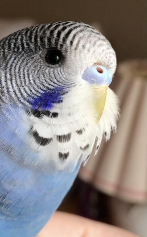 Gender Confused - 11 week old has purple and blue cere without any white at nostrils.-cere-1.2.jpg