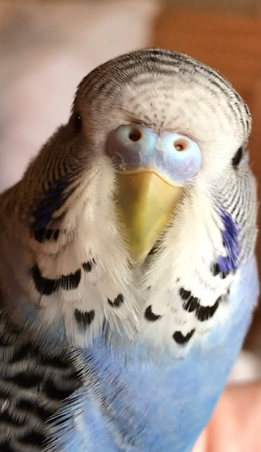 Gender Confused - 11 week old has purple and blue cere without any white at nostrils.-cere-cuu.jpg
