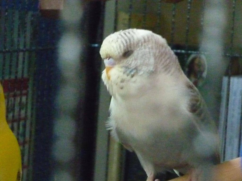 Meet my new budgies!-chatterbox4.jpg