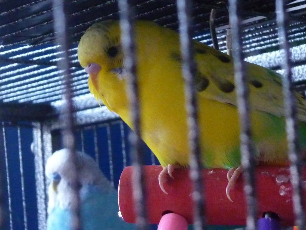 Meet my new budgies!-chatters2.jpg