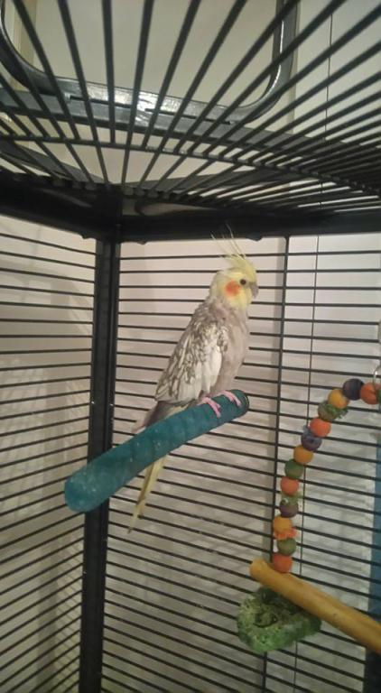 Back and thinking of adopting cockatiels!-coco.jpg