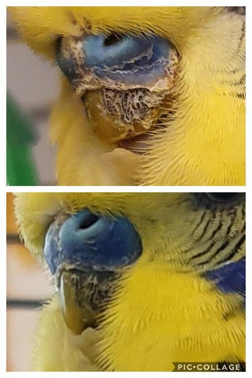 Little kermits beak is going black-collage-2020-02-06-16_24_54_1581006380018.jpg