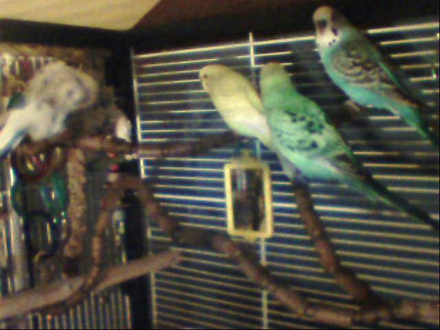 What kind of budgies are these-copie-de-image-144.jpg