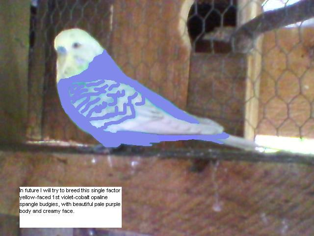 yellow-faced violet budgie.-copy-copy-sp_a1260.jpg
