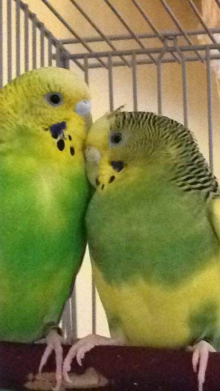 Can't keep budgies-cosmoandlulu.jpg