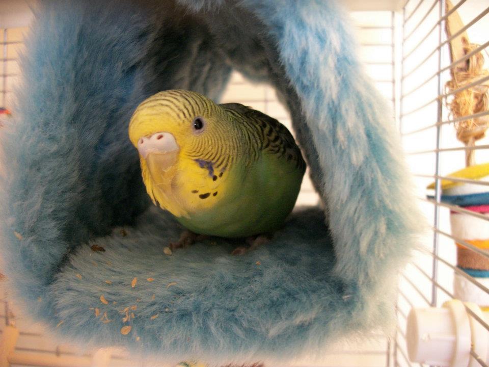 Fly High my beautiful budgie girl, Spyro :(-cutie.jpg