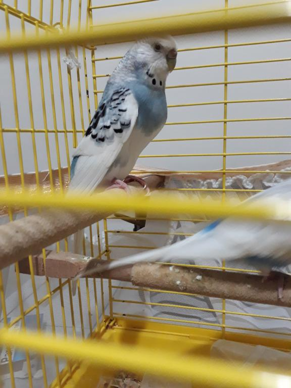 Help! Is my baby budgie going to be disabled?-d1a3ef94-173a-4f5b-a496-82cd3d834ef1.jpg