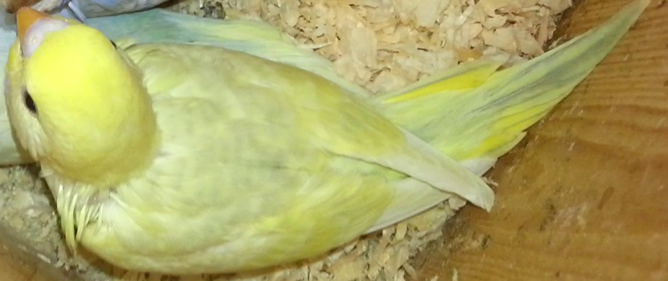 Is this Greywing, Dilute or both?-dilute-opaline.jpg