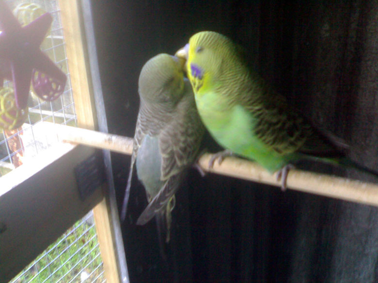 What colour budgies to put with who???-dinkey-ollie-tlk-budgies.jpg