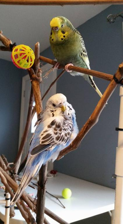 New bird is aggressive, but the reason remains a mistery...-drjohnesrocket.jpg