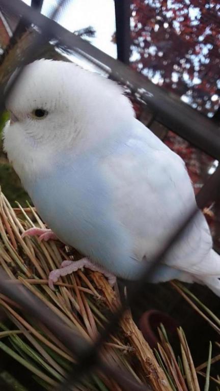 budgie chick mutations help-dsc_0059_1432752550615.jpg
