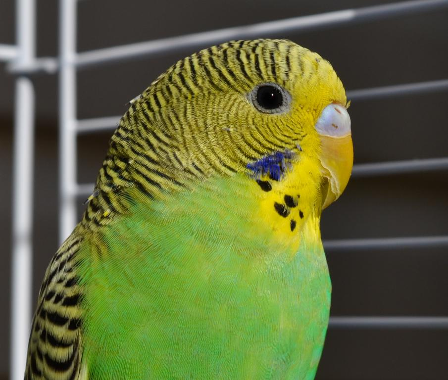 Recommend health food// Budgie Tired, Lethargic or Bored-dsc_0552.jpg