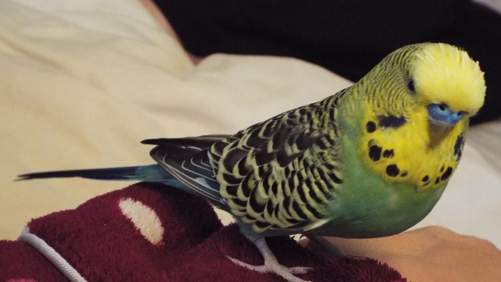 "Is my Charlie an English budgie or just a ""big budgie""-dscf2565.jpg"
