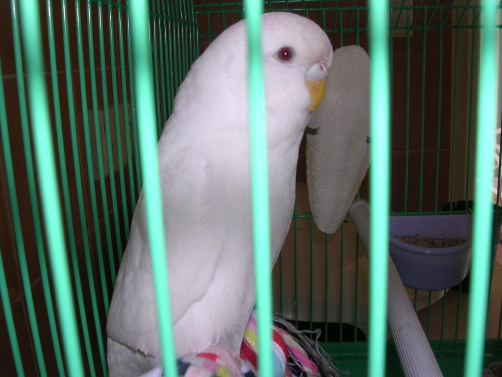 Is my White budgie an Albino or just a White budgie breed-dscn0178.jpg