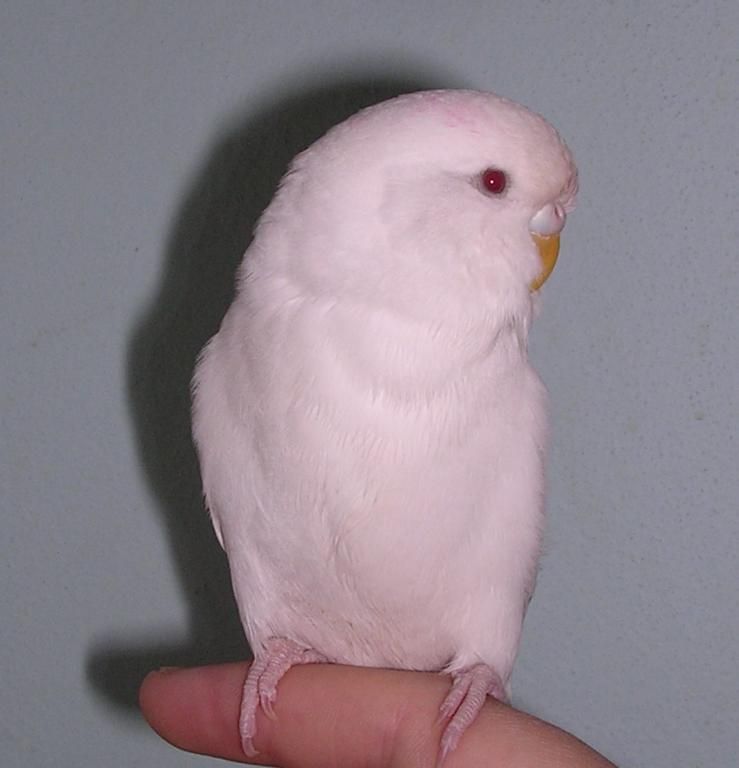 Is my White budgie an Albino or just a White budgie breed-dscn0194.jpg