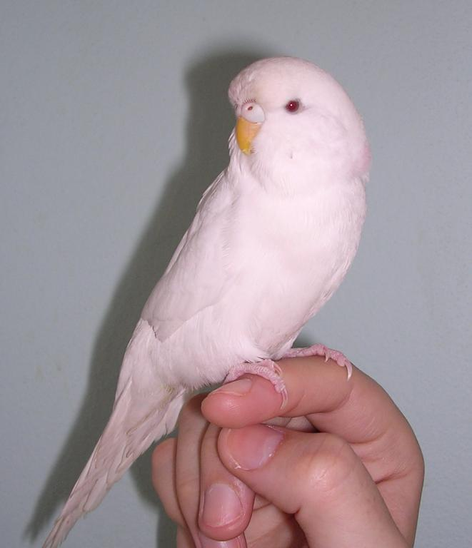 Is my White budgie an Albino or just a White budgie breed-dscn0195.jpg
