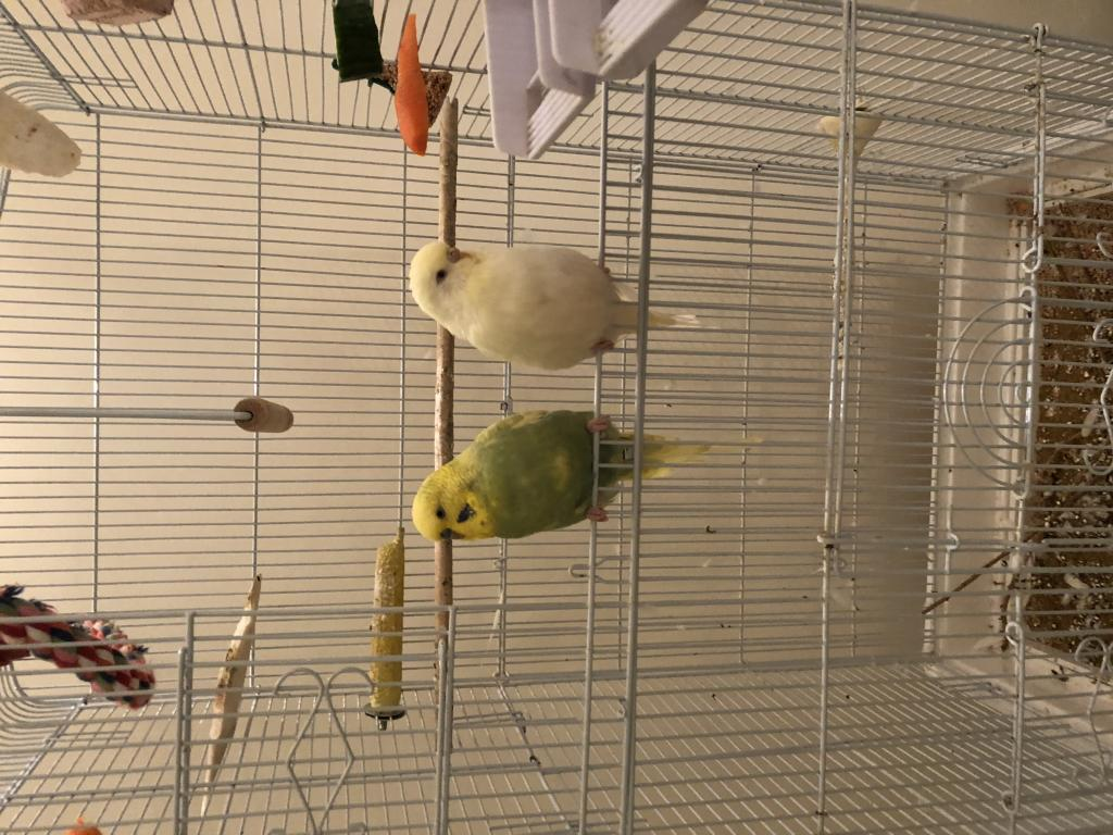 Squeaky noise from budgie-ec972b41-e0ed-4eac-8605-526650cb3419.jpg