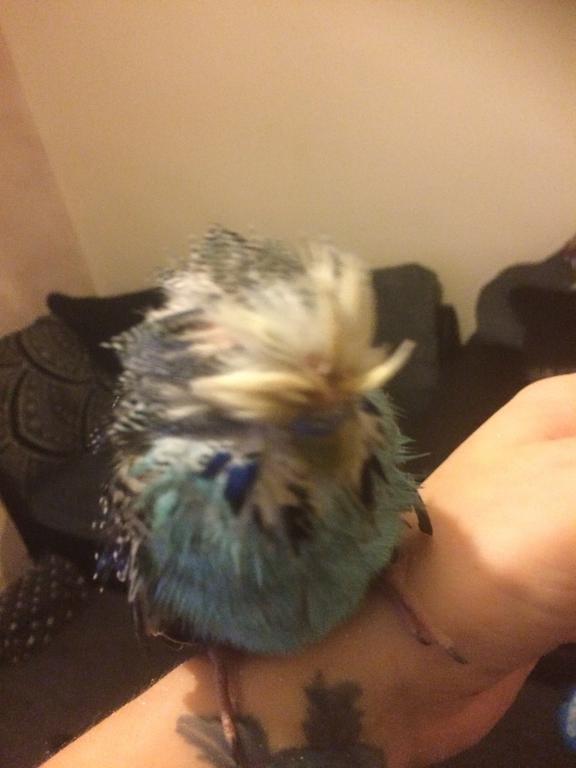 Sick budgie hard beak feathers-ef892a0d-0942-4b30-9d42-3e0cffa1d4e5.jpg