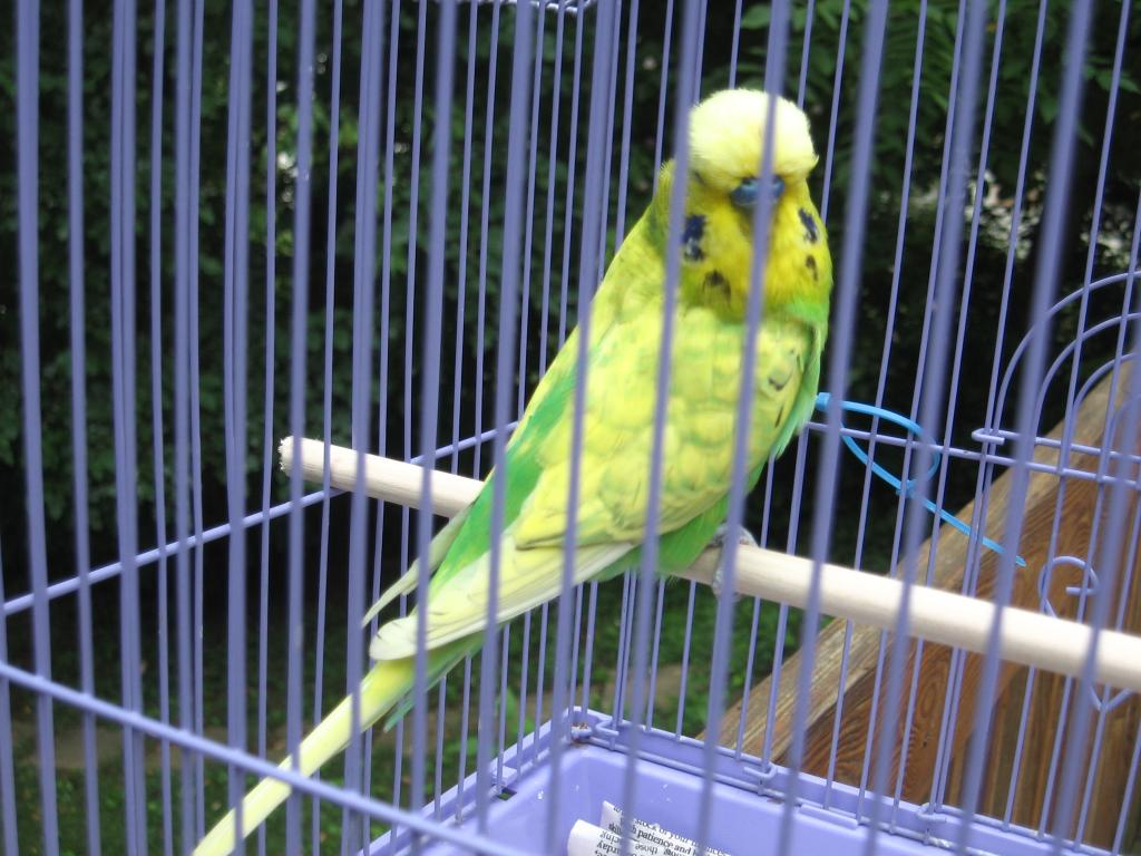 Anyones spangle done this before?-english-spangle-opaline-green-male-1.jpg