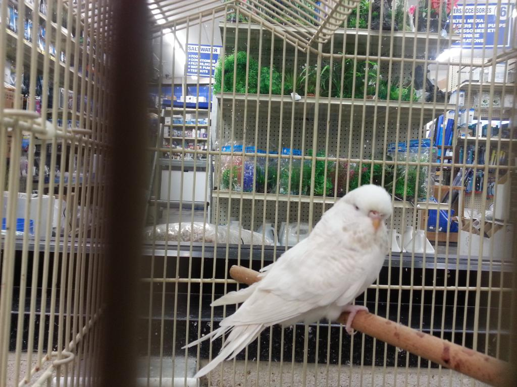 So...Is This A White Lacewing English Budgie?-englishbudgiecitypets2.jpg