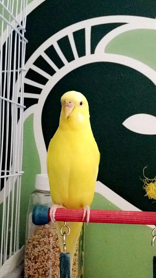 How can I tell if my budgie is going to have a baby?-enhance-10-.jpg