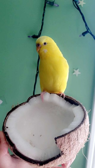 How can I tell if my budgie is going to have a baby?-enhance-7-.jpg