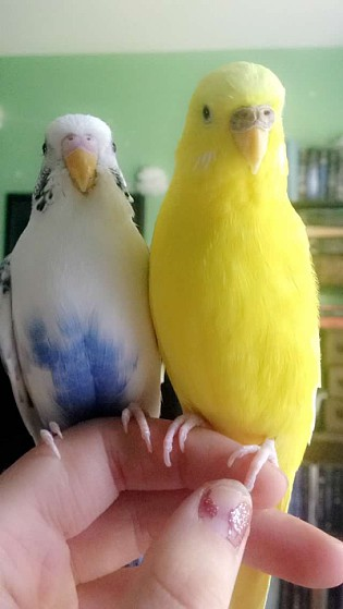 How can I tell if my budgie is going to have a baby?-enhance-8-.jpg
