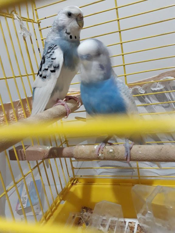 Help! Is my baby budgie going to be disabled?-f25efc27-9074-4c02-86d7-e64c883e0fcb.jpg