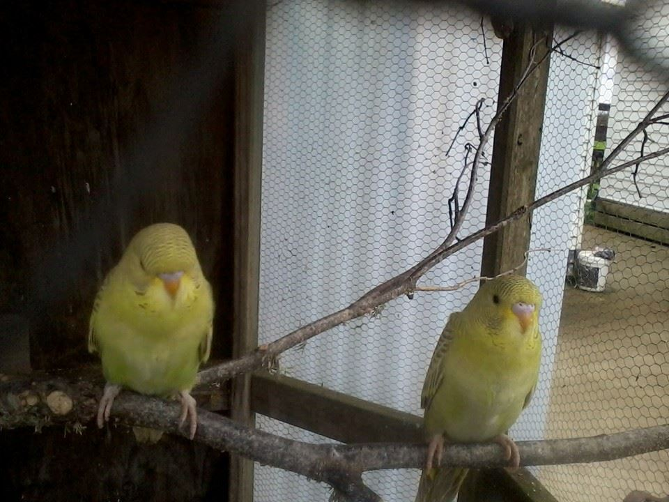 Green Babies fledging-fledge.jpg