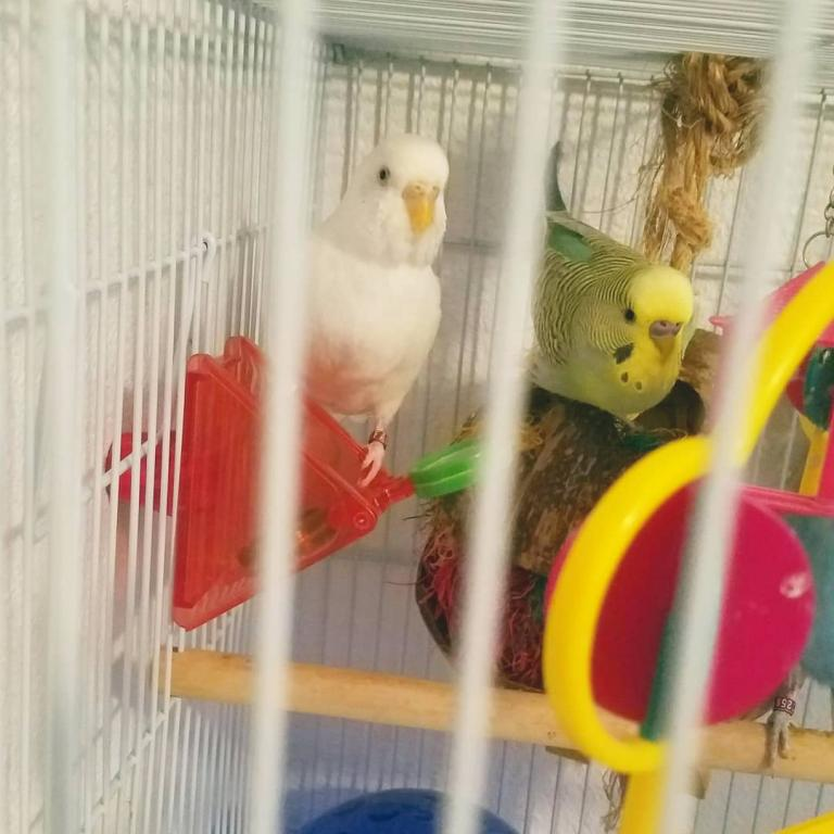 Which budgie should I separate?-froyo-ghosty-.jpg