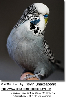 are grey budgies rare?-greybudgie.jpg