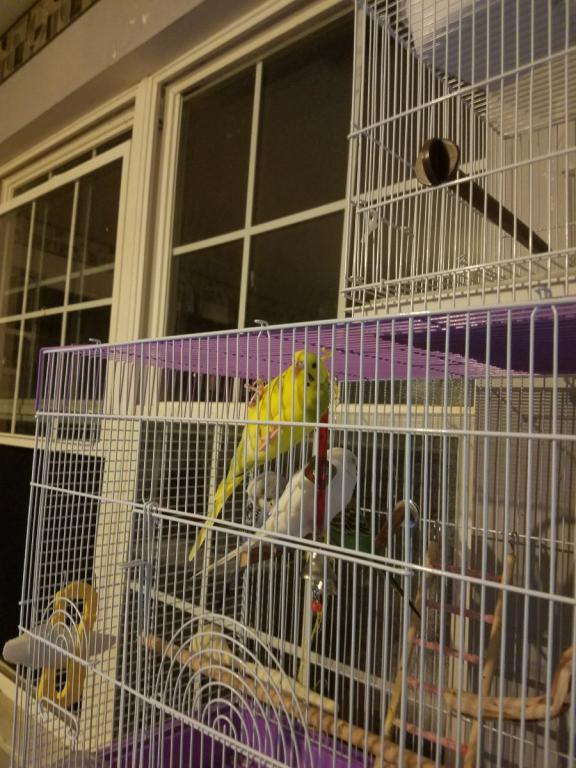Lemon hanging from the cage-hanging.jpg