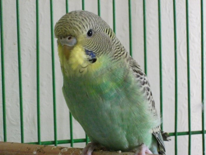 Does my budgie have a mutation?-harlequin6.jpg