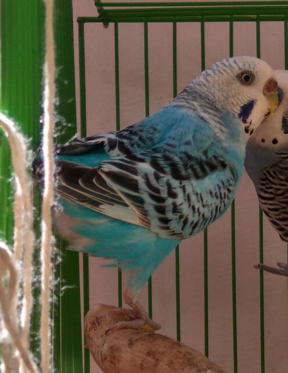 Budgie Color Type-ice.jpg