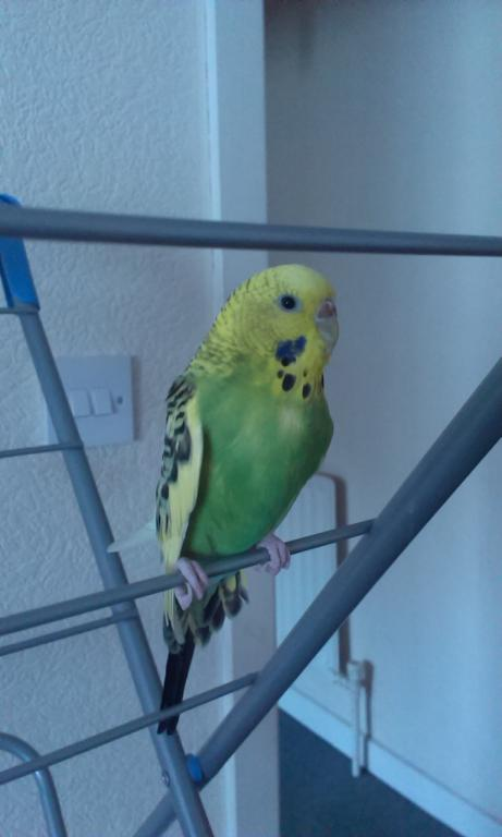 Budgie right wing sticking out away from body?-imag0325.jpg