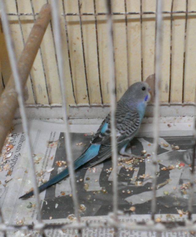 Looking for Sex of these little keets-imag1091.jpg