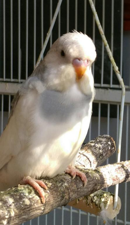 Let's try to sex my 2 new budgies!-imag1648_1.jpg