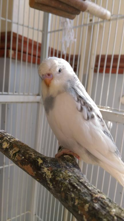 Let's try to sex my 2 new budgies!-imag1661.jpg