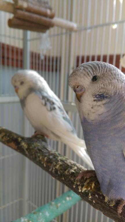 Let's try to sex my 2 new budgies!-imag1666.jpg