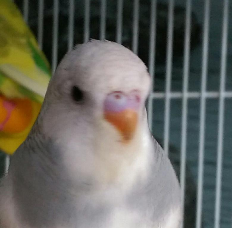 Let's try to sex my 2 new budgies!-imag1683_1.jpg