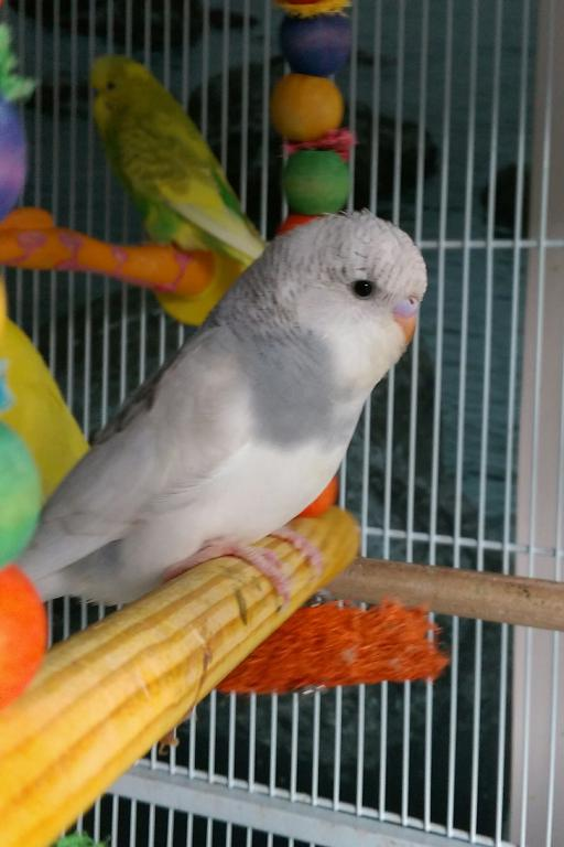 Let's try to sex my 2 new budgies!-imag1684_1.jpg
