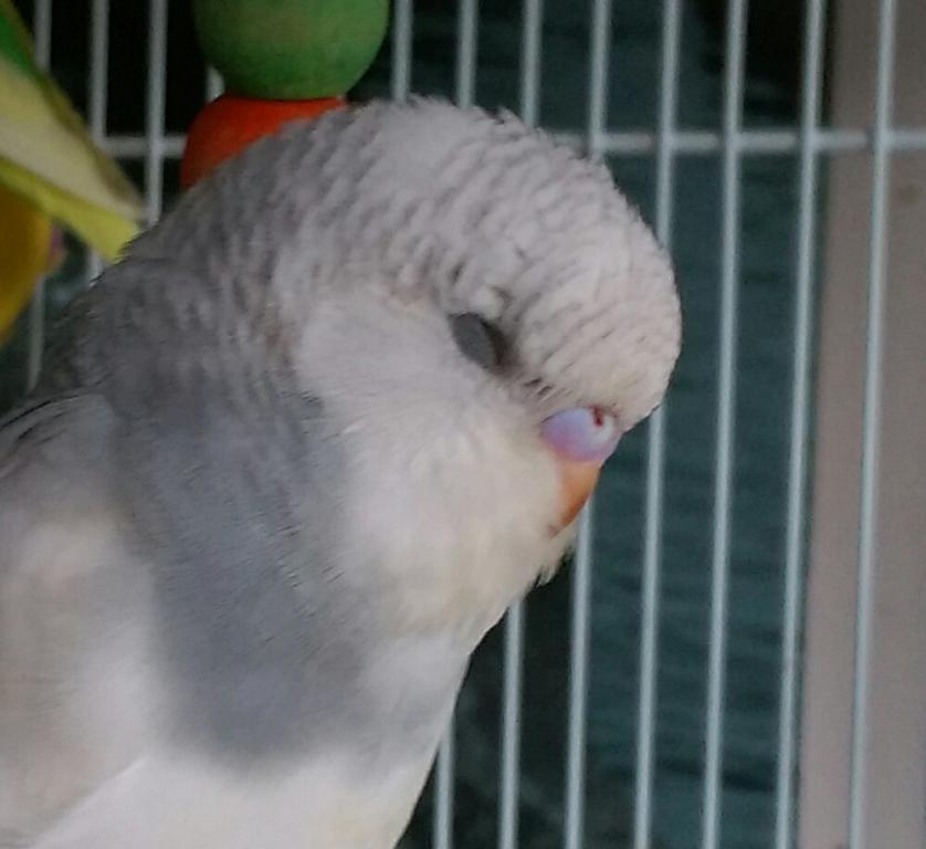 Let's try to sex my 2 new budgies!-imag1691_1.jpg