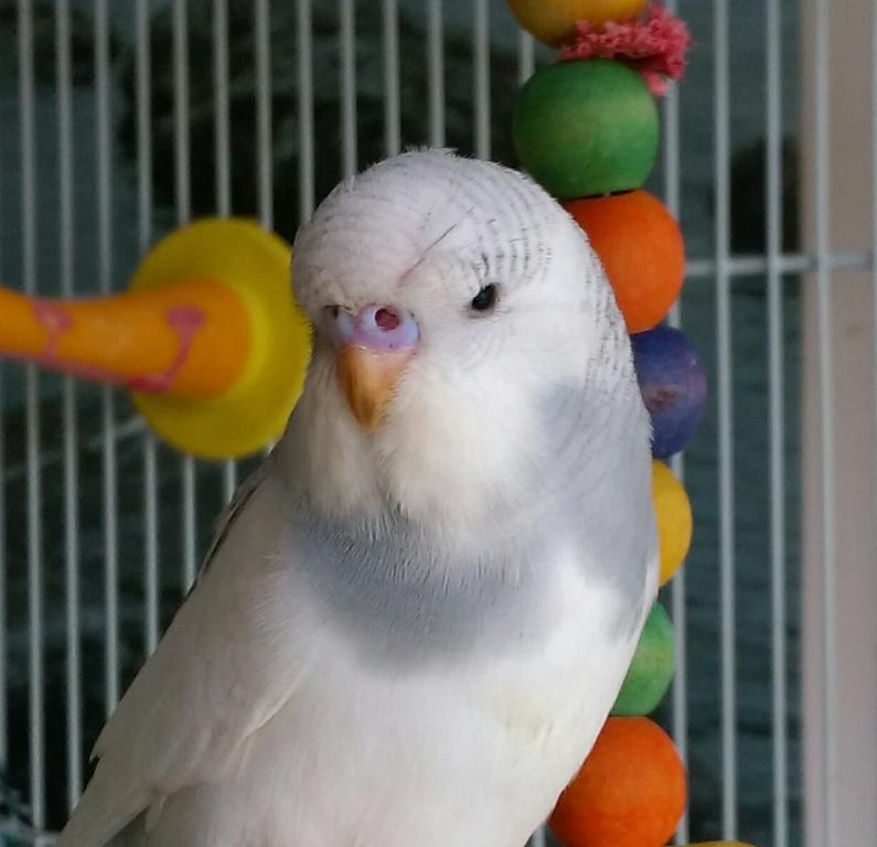 Let's try to sex my 2 new budgies!-imag1742_1.jpg