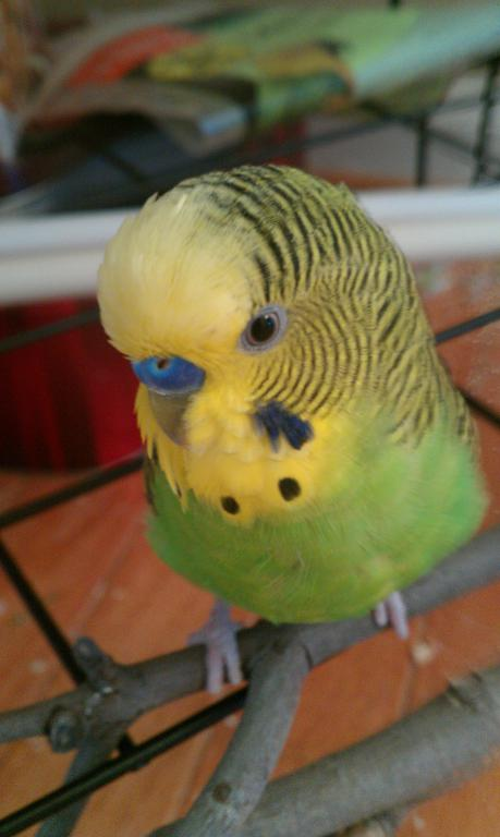 7yo MALE budgie's cere turned brown-imag_20120226blue.jpg