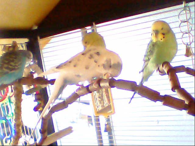 What kind of budgies are these-image-056.jpg