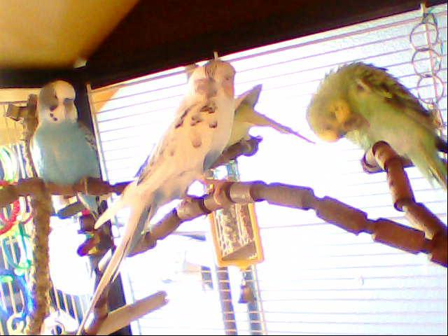 What kind of budgies are these-image-064.jpg