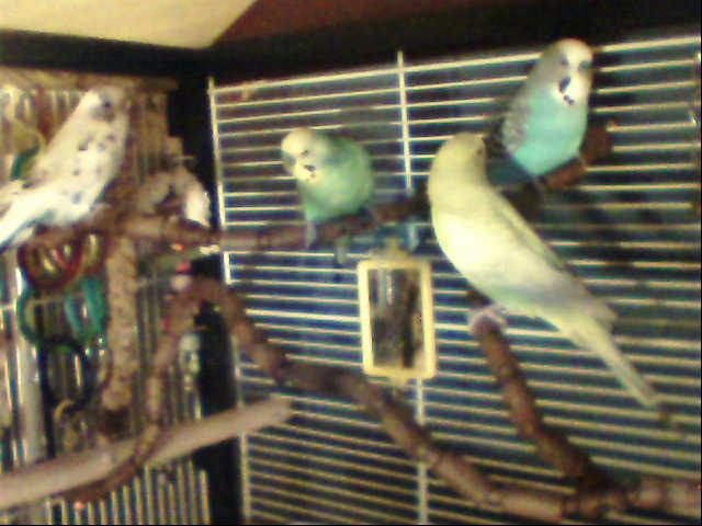What kind of budgies are these-image-129.jpg