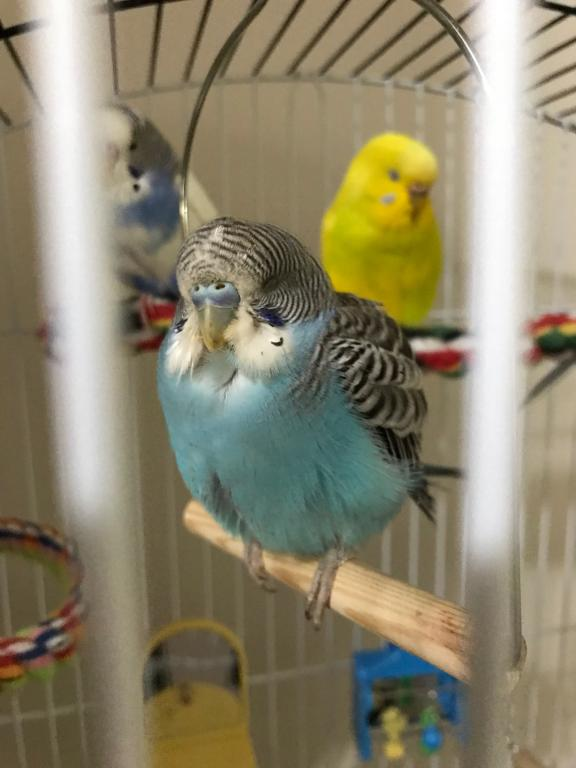 male or female budgie?-image-18.jpg