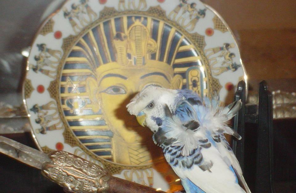 Wonderous Egyptian Crested Budgies-image.jpg
